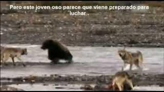 Naturaleza Salvaje - Lucha Animal : Lobos Vs Oso / Wild Nature - Animal fight : Wolves Vs Grizzly