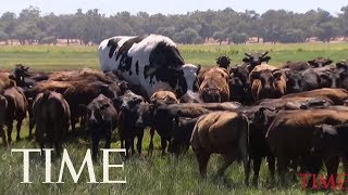 A Colossal Australian Cow That Wowed The Internet Will Be Saved From Slaughter | TIME thumbnail