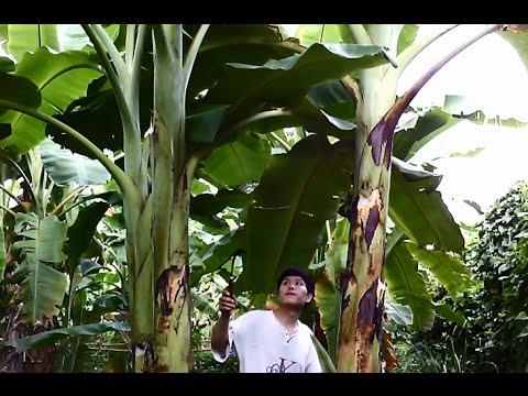 วิธีปลูกกล้วยน้ำว้า - How to Grow Banana Plants