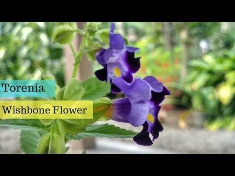 Beautiful Torenia Fournieri