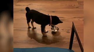 목 마르면 물 그릇 물고 오는 강아지 |시바견 피코|