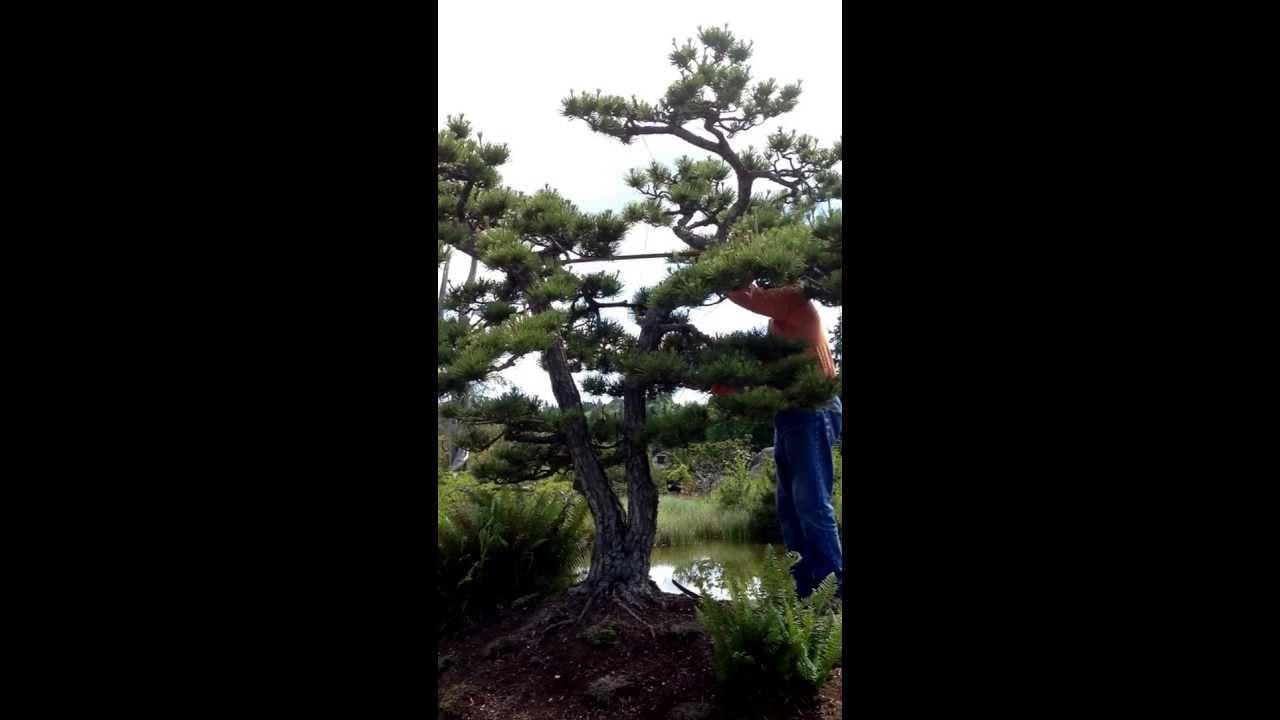 Dan Robinson Prunes Mature Landscape Tree As Bonsai At Elandan Gardens Youtube