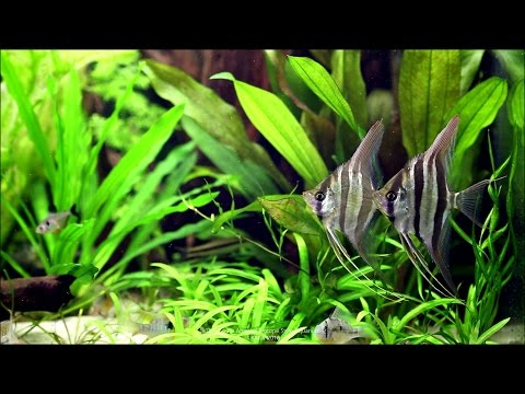 180L South America Biotope Style Aquarium - Day 274