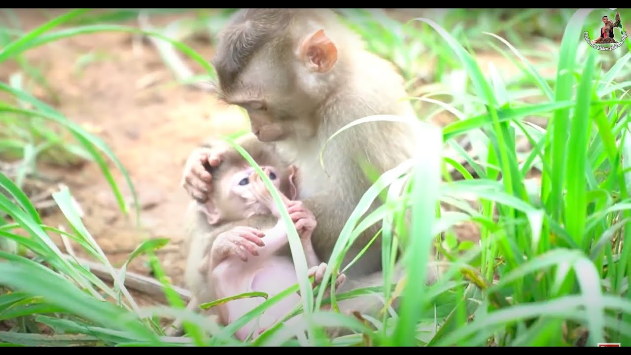 Giải Cứu Khỉ Mẹ • Rescued the mother monkey from the hunter and release it into the forest