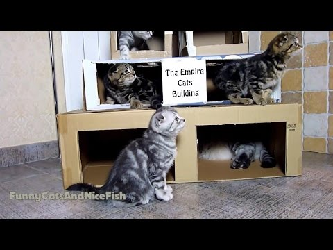 Thumbnail for Cat Video The Empire Cats Building for Scottish Fold Kittens