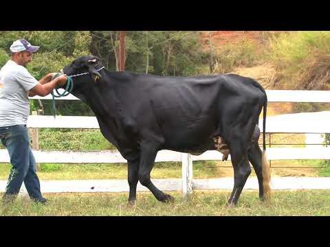 LOTE 1   277   AGROPECUÁRIA SÃO PEDRO   LEILÃO ALIANÇA GENÉTICA