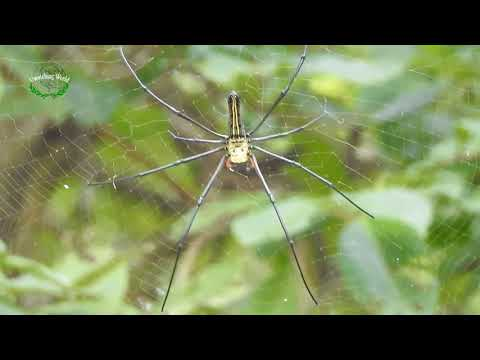 Giant Spider Living On Spider Net, Daily Uwatching World#07
