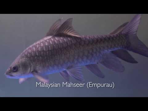Mahseer Fish Malaysia (Empurau) from A FARM AGROTECH Sdn Bhd
