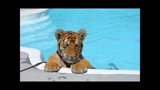 Такие  милые животные - видео с тигрятами.