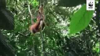 Stöd WWFs arbete för att rädda orangutangen