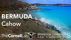 Live Endangered Bermuda Cahow - Ocean View | Nonsuch Expeditions | Cornell Lab