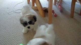 Shichon Puppies (bichon X Shih Tzu)