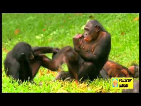 Monyet Seblay thumbnail