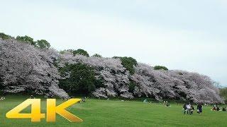 Kinuta park cherry blossoms 2017- Long Take【東京・砧公園】 4K