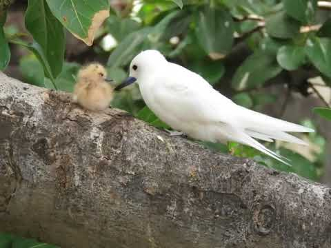 Manu-o-K ū or White (Fairy) Tern Chick (few hours old)