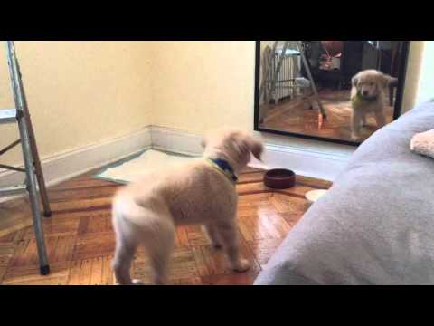 Golden Retriever puppy sees reflection for first time