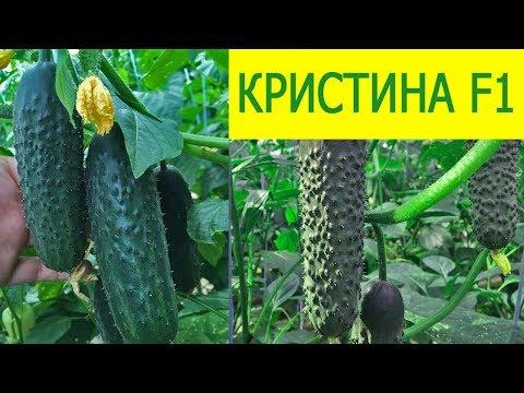 Гибрид огурца КРИСТИНА F1 -  самый живучий огурец   выращивание   кристина   теплице   огурцы   огурца   гибрид   cucumber   cristina   в   f1