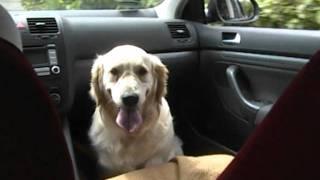 Golden Retriever Hund Mädchen Vw Jetta