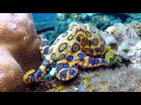 Blue-ringed octopus flashing its bright warning colors