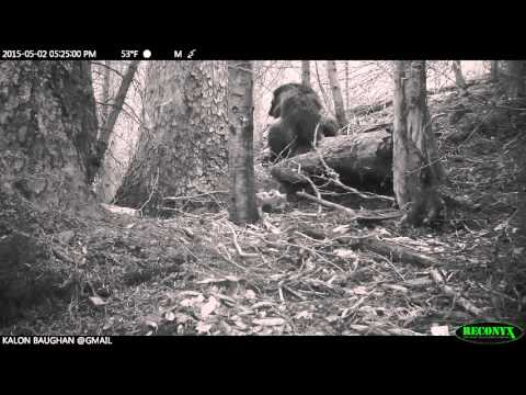Montana Female Wolverine Lactating: Credit NRCC/Baughan