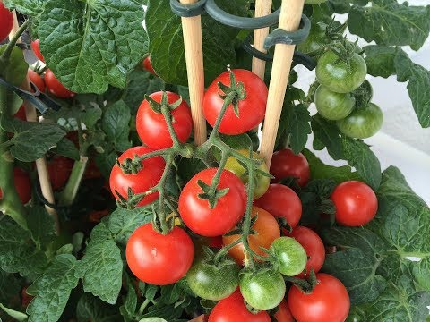 How to Grow Tomatoes in a Pot  Caring Tips  Kitchen Gardening