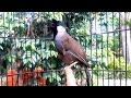 Poksay Hongkong Gacor Untuk Pancingan Burung Bahan Masteran  Mp3 - Mp4 Download