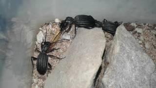 Predatory Ground Beetles (Termophilum/Anthia Sp) Sharing A Mealworm