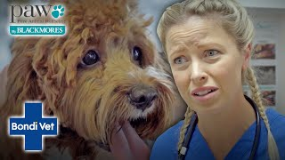 Vet Helps A 'COVID Puppy' With Separation Anxiety | Bondi Vet X Paws By Blackmores
