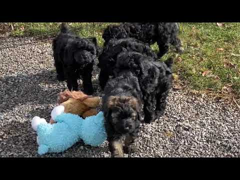Aspen's schnoodle puppies March 4, 2020