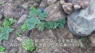 日本野鳥の会が取り組んでいるカンムリウミスズメの人工巣が初めて利用...