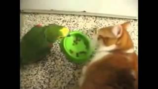Попугай хамит за завтраком коту и получает за это
