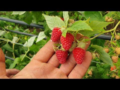 Амира. Ремонтантный сорт малины с характером!!! Красивая ягода и изысканный вкус!