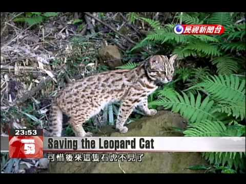 Conservationist Balances Needs Of Farmers And Endangered Leopard Cats