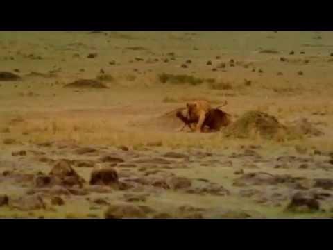 thực hành : tập tính kiếm ăn săn mồi ở động vật ( lớp 11  HD )