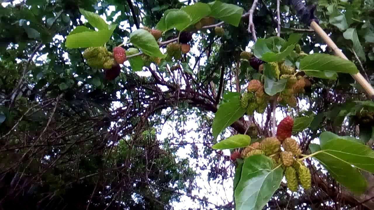 شجرة التوت الاسود الجميلة وفوائد التوت الاسود الصحية الكبيرة Youtube