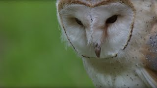 Cute Barn Owl Learns How To Fly | Super Powered Owls | BBC