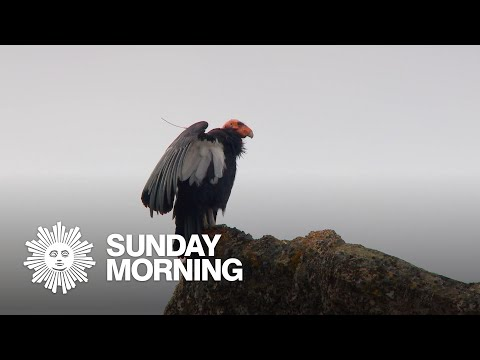 Nature: California Condors
