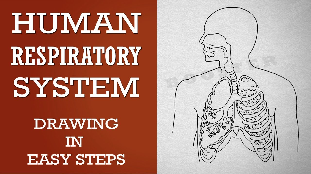 Simple Diagram Of Human Lungs How To Draw Human Respiratory System In Easy Steps 10th