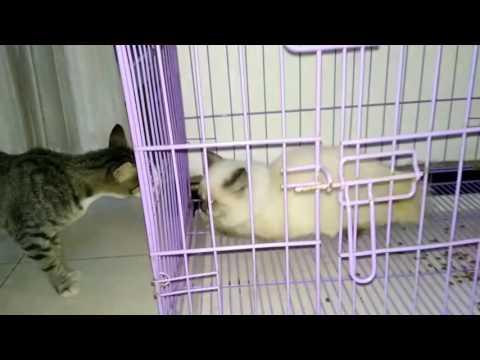 Kucing Persia vs Kucing Kampung