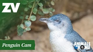 Preview of stream Penguin Cam in Melbourne Zoo, Australia