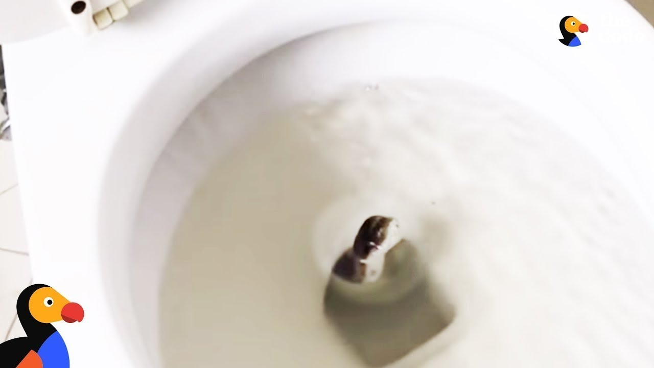 Man Rescues HUGE Snake From Toilet And Sets Him Free -  UPDATE | The Dodo
