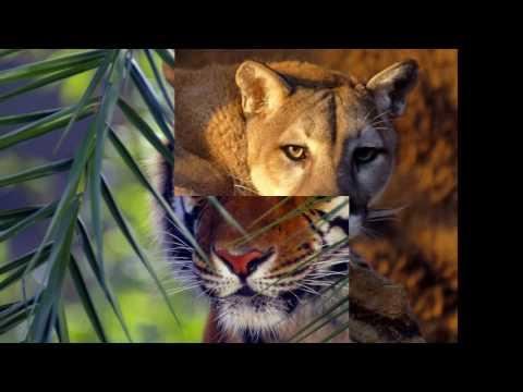 красивые картинки на тему тигров львов кошек...