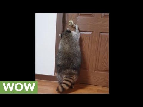 Pet raccoon learns how to open doors