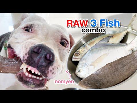 nomyen-the-pit-bull-eats-raw-3-fish&duck-feet-combo-[asmr]-barf- -mukbang-動物の咀嚼音- -犬が生の肉を食べる- -4k