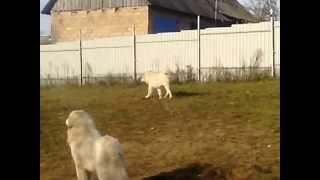19.10.2014 (2) Пиренейская горная собака и Торняк.