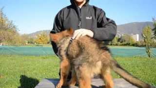 Il cucciolo di cane: manipolazione, utilizzo della pettorina ad H ed invito a seguire