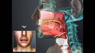 Anatomia de articulação linguodentais - Fonovim Fonoaudiologia Neurológica