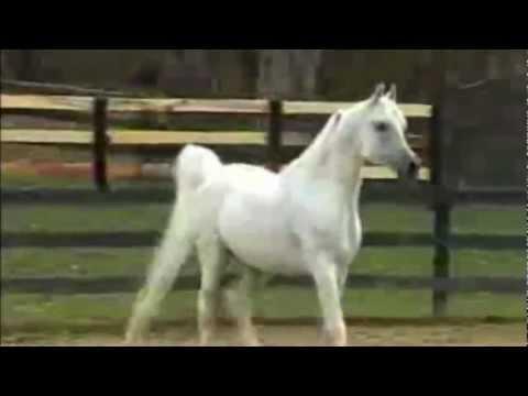 classic arabic music , arab horse