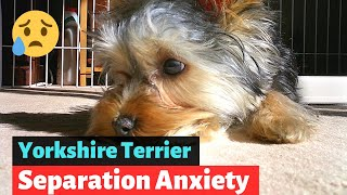 Everything you need to know about Yorkshire Terrier Separation Anxiety