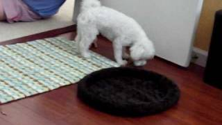 Maltese Dog Five Minutes Exercise